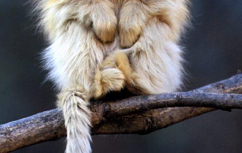 World Wednesday: Primates near extinction