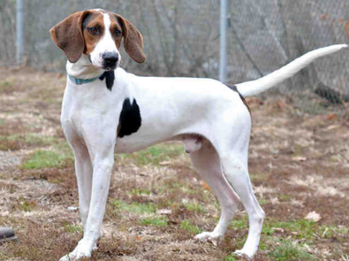Anakin, a treeing walker coonhound, is up for adoption.