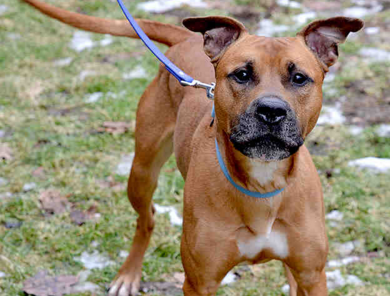 Periwinkle, a red boxer and labrador retriever is up for adoption.