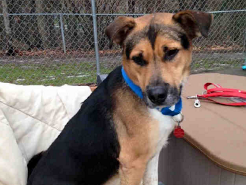 Ringo, a brown and white German Shepherd mix, is up for adoption.