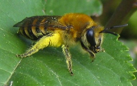 World Wednesday: Bees announced as endangered in the US