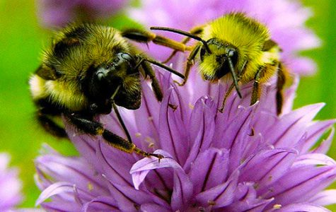 World Wednesday: Endangered bee populations to increase