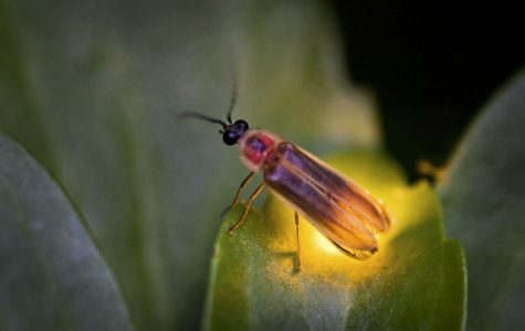 Why do Fireflies Glow?
