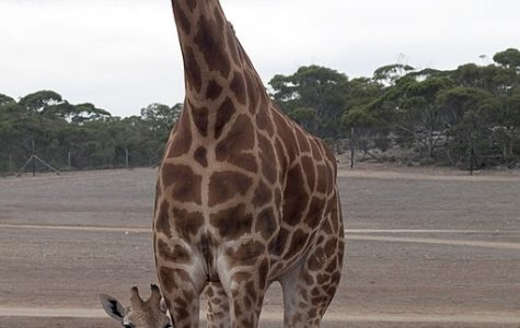 World Wednesday: Baby giraffe's spots say it all