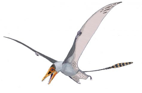 Sordes, as depicted here, evidences the possibility that pterosaurs had a cruropatagium – a membrane connecting the legs that, unlike the chiropteran uropatagium, leaves the tail free.