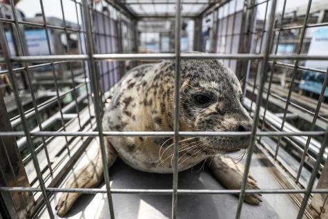 A spotted seals sits in a cage before being released by officials into the sea near Dalian in northeastern China