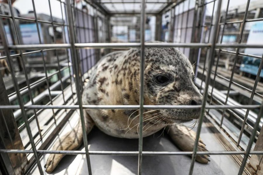 A+spotted+seals+sits+in+a+cage+before+being+released+by+officials+into+the+sea+near+Dalian+in+northeastern+China%27s+Liaoning+province.